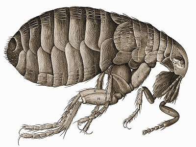 Flea, that lived on rats